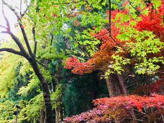 緑と紅葉の写真・画像素材[1870058]