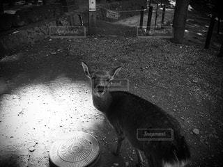 モノクロームの鹿の写真・画像素材[2958673]