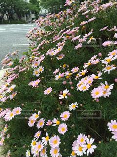 ピンクの花の写真・画像素材[1853753]