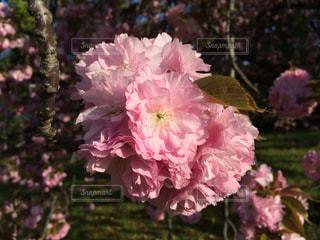 ピンクの花のアップの写真・画像素材[1853755]
