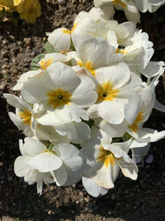 白い花の写真・画像素材[1851489]