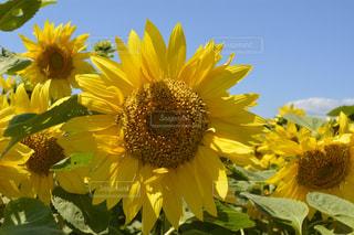 黄色の花の写真・画像素材[1874283]