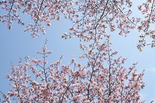 桜の写真・画像素材[1874290]
