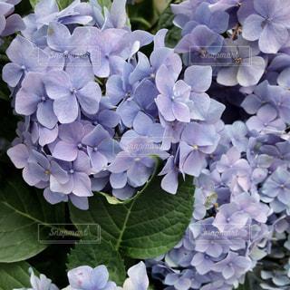 紫陽花の写真・画像素材[2251389]