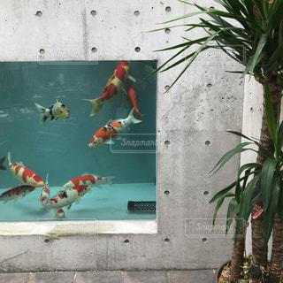 鯉の写真・画像素材[2476224]