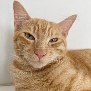 横になってカメラを見ている猫の写真・画像素材[4691243]