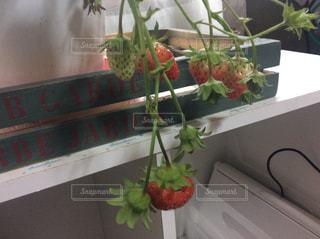 窓際に置いたいちごの鉢植えの写真・画像素材[1873715]