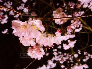 夜桜の写真・画像素材[1881198]