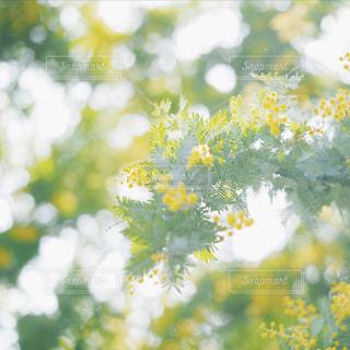 さわやかミモザの写真・画像素材[1854003]