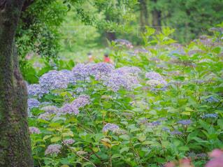 紫陽花の庭の写真・画像素材[2243010]
