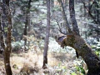 トナカイの森の写真・画像素材[2713921]
