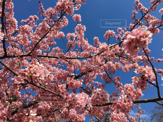 桜の写真・画像素材[363332]