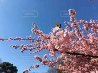 No.363336 桜
