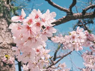 枝に座っているピンクの花の木の写真・画像素材[1832190]