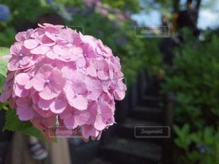 植物のピンクの花のクローズアップの写真・画像素材[2227015]