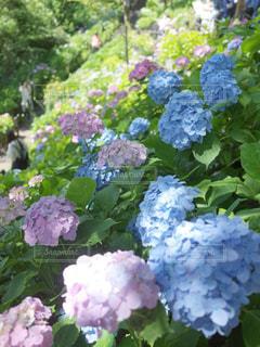 長谷寺紫陽花のクローズアップの写真・画像素材[2227016]