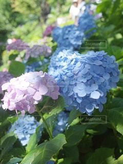 長谷寺紫陽花のクローズアップの写真・画像素材[2227017]