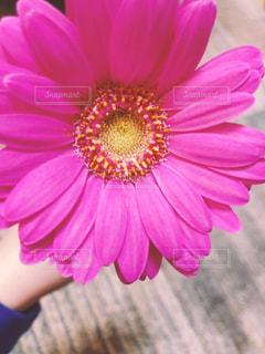 ピンクの花の写真・画像素材[1855556]