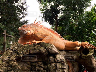赤いイグアナの写真・画像素材[1881854]