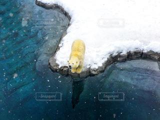 水辺のシロクマの写真・画像素材[1857876]
