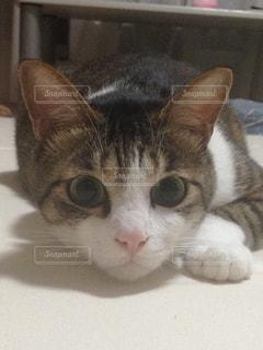 カメラを見ている猫の写真・画像素材[1858594]