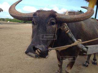 水牛の写真・画像素材[1859680]
