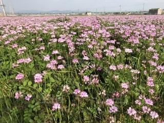 れんげ畑の写真・画像素材[2053783]