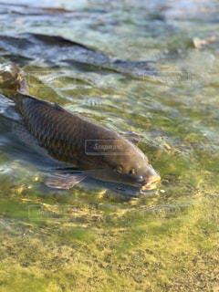 水面下を泳ぐ鯉たちの写真・画像素材[1859212]