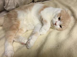 ベッドの上で横になっているネコの写真・画像素材[1858537]