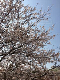 桜と空の写真・画像素材[1858920]
