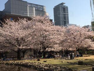大きな桜の木の写真・画像素材[1858922]
