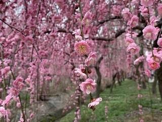 しだれ梅の写真・画像素材[1860015]