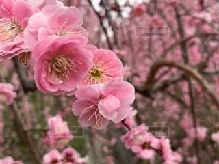 梅の花の写真・画像素材[1860017]