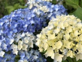 満開の紫陽花の写真・画像素材[1863954]