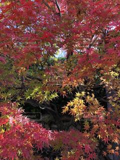 鮮やかな紅葉の写真・画像素材[1870974]