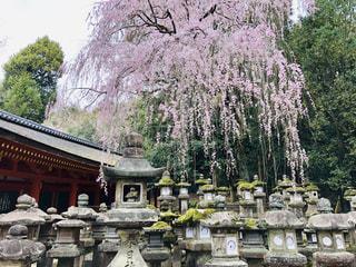 枝垂れ桜と灯ろうの写真・画像素材[2010129]