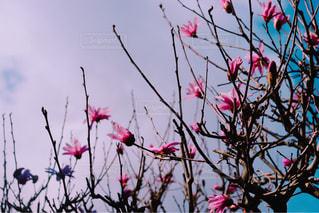 庭の木蓮の写真・画像素材[1878562]