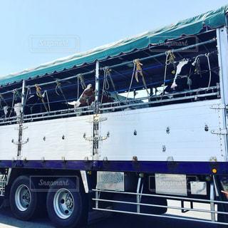 トラックで運ばれる牛たちの写真・画像素材[1866566]