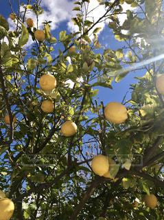 青空とレモンの木の写真・画像素材[1867812]