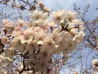 晴天の桜の写真・画像素材[1867171]