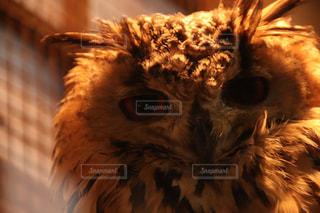 フクロウの写真・画像素材[1872554]