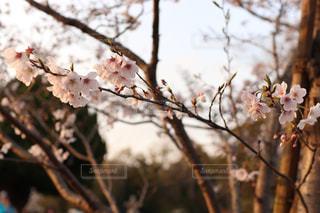 夕日に照らされた桜の写真・画像素材[1883527]