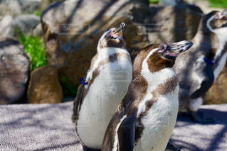 ペンギンのクローズアップの写真・画像素材[2099819]
