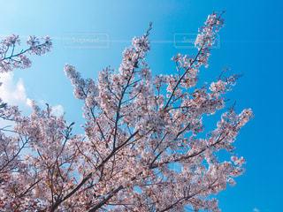 青空と桜の写真・画像素材[1868281]