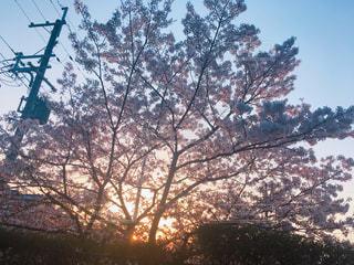 大きな桜の写真・画像素材[1868283]
