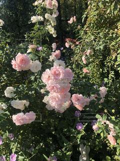 Roseの写真・画像素材[1870503]