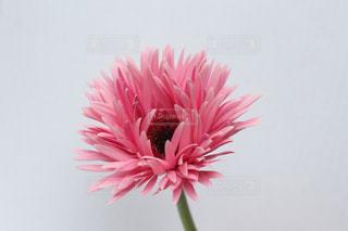 ピンクのガーベラの写真・画像素材[3061277]