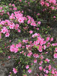 つつじの花の写真・画像素材[2078299]