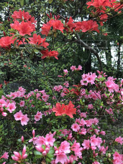 つつじの花の写真・画像素材[2078317]