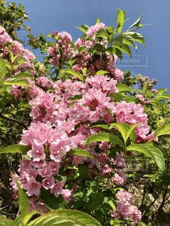 タニウズキの花の写真・画像素材[2161385]
